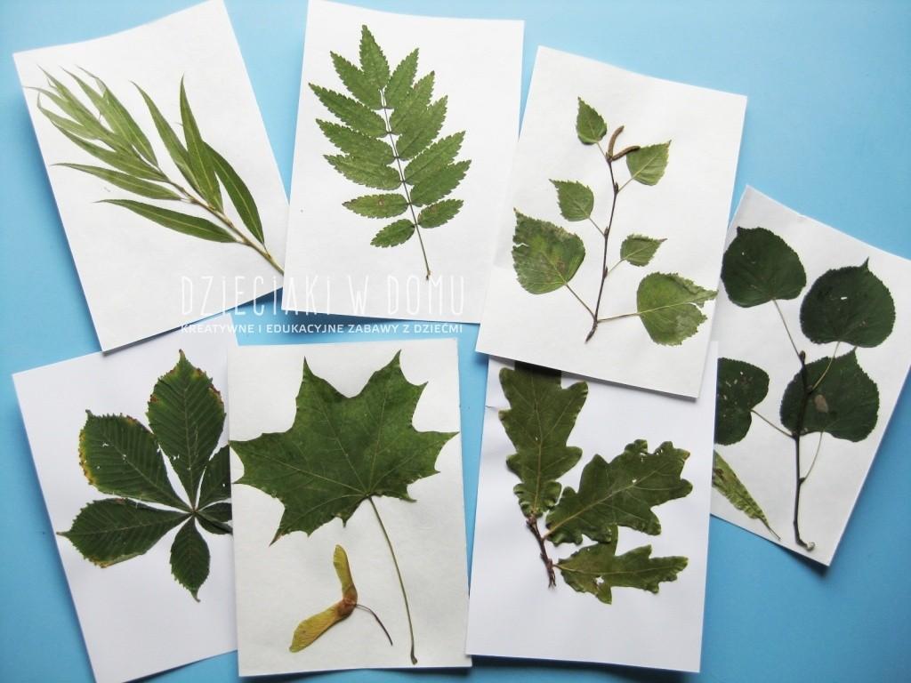 Rozpoznajemy drzewo po jego liściu – zielnik
