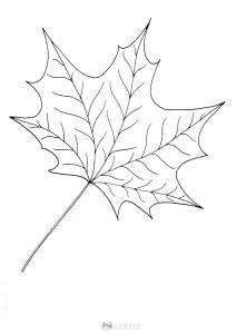 liść klonu - szablon