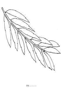 Liść wierzby - szablon