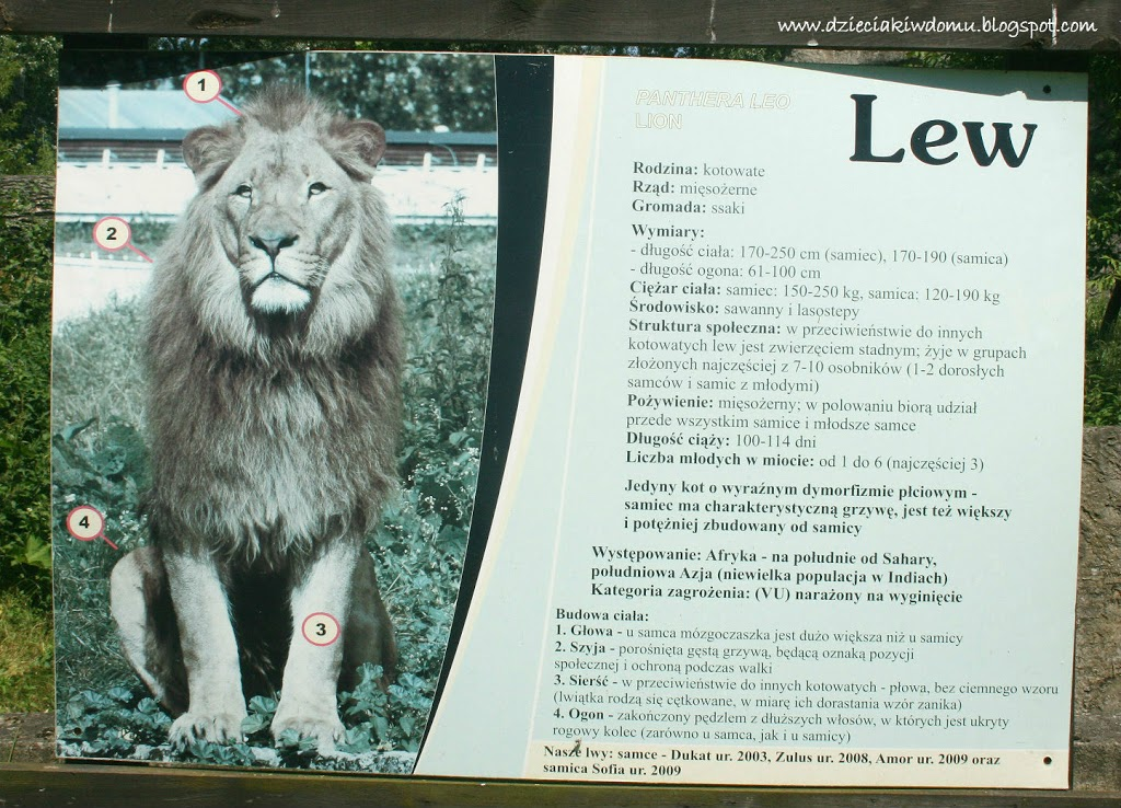 wycieczka z dziećmi do Zoo, zwierzęta warszawskiego Zoo - lew