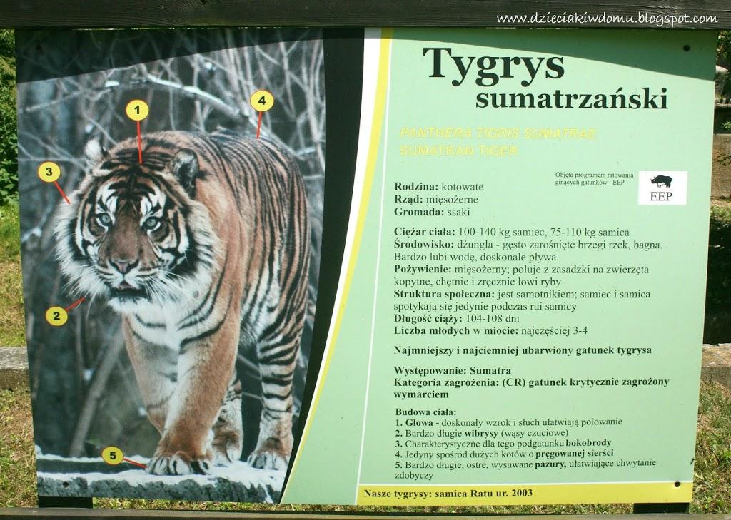 wycieczka z dziećmi do Zoo, zwierzęta warszawskiego Zoo - tygrys