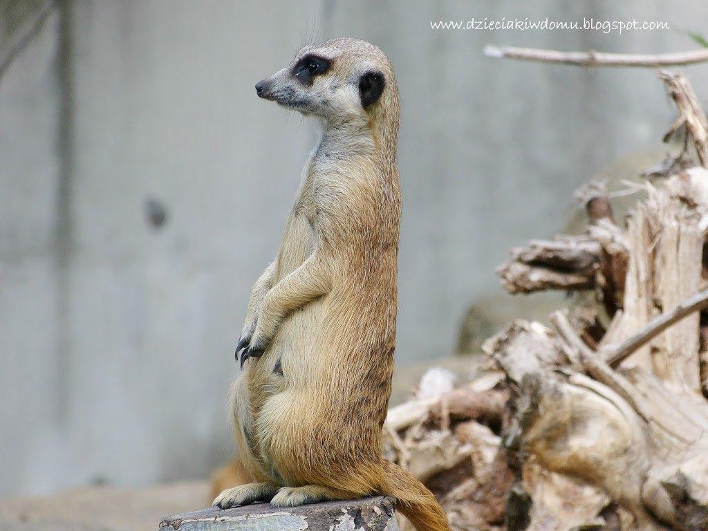 wycieczka z dziećmi do Zoo, zwierzęta warszawskiego Zoo - surykatka