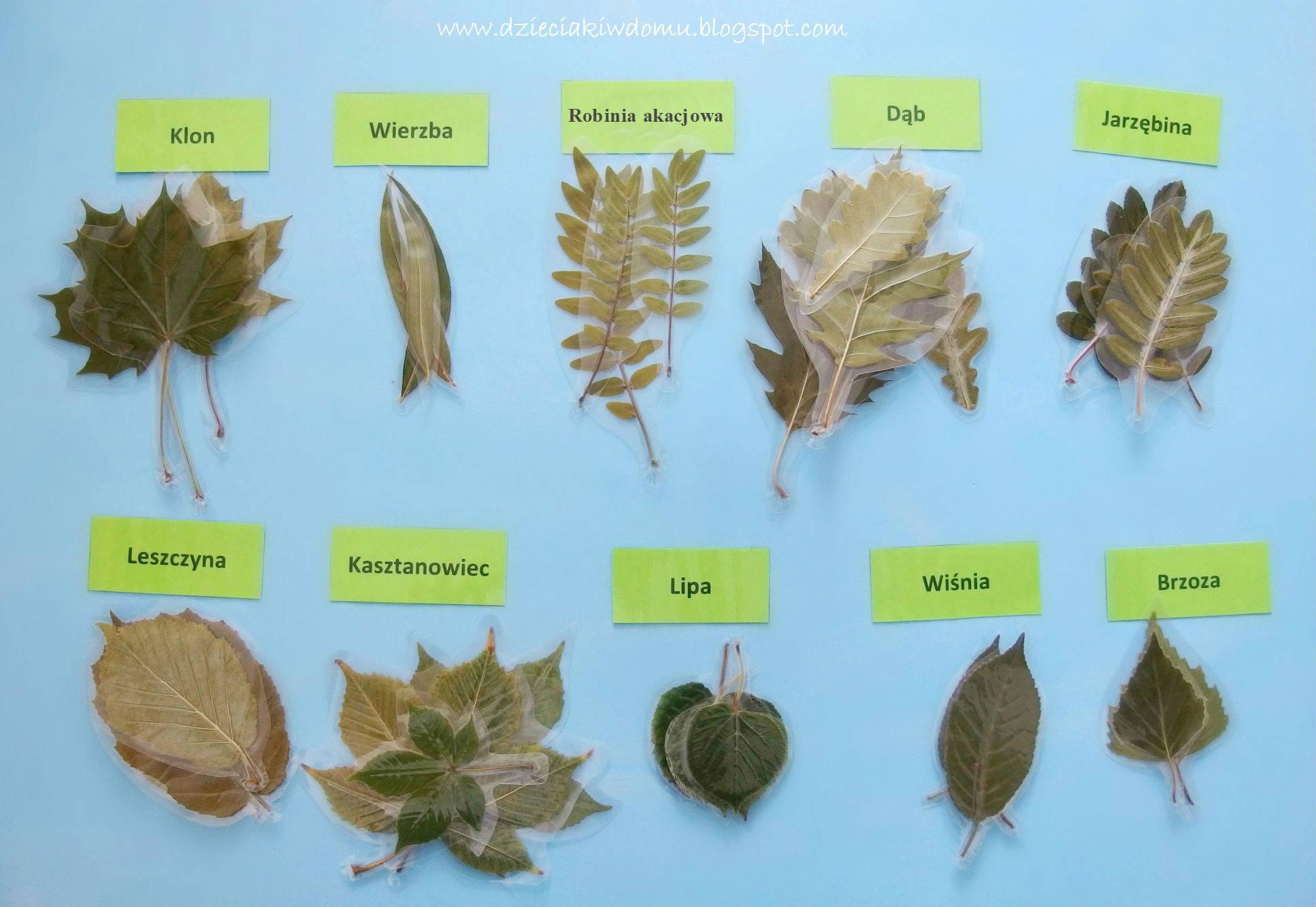 laminowane liście drzew - edukacyjna zabawa dla dzieci