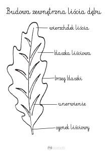 budowa zewnętrzna liścia  - szablon