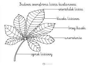 budowa zewnetrzna liścia kasztanowca - szablon