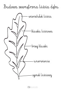 budowa zewnetrzna liścia - szablon